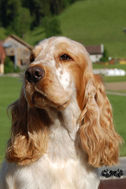Portrait de Lynwater Jasper, cocker spaniel anglais orange